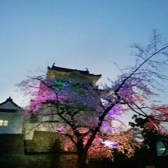 お出かけ/お花見 小田原城のライトアップ。
