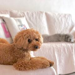 愛犬家住宅/白い家/癒し/愛犬/toypoodle/令和元年フォト投稿キャンペーン/... シェリーメイとお部屋でまったり