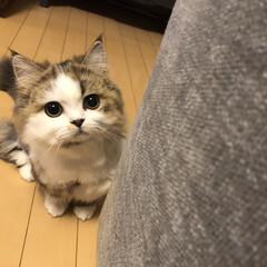 子猫/ねこ/猫ラブ/もふもふ部/ミヌエット/うちの子自慢 一緒に遊ぼうよ♡