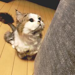 もふもふ部/ねこ/子猫/ミヌエット/LIMIAペット同好会/にゃんこ同好会/... おねだり中💕