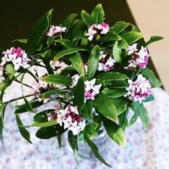 沈丁花の香り/小さい春  今朝がた摘みました❤️庭のジンチョウゲ…