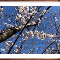 小春日和/お散歩/花見/桜の花/春の一枚 先程強風吹くなか川沿いをお散歩したら、桜…