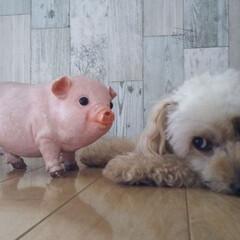 仲良し/豚/ペット 元気がないプリンに、娘が可愛い豚さんを買…(1枚目)