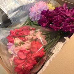 スイトピー/春の香り/小さい春 毎年、岡山の親戚から スイトピーが届きま…