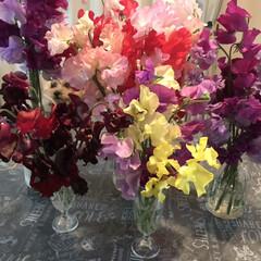 スイトピー/春の便り/LIMIAペット同好会/フォロー大歓迎/ペット/ペット仲間募集/... スイトピーの続き❁❀✿✾  花瓶が足りな…