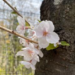 春の花たち/桜 今日は病院へ薬をもらいに、行きはバス、帰…