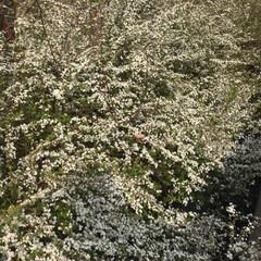 春の花/LIMIAペット同好会/ペット/ペット仲間募集/犬/わんこ同好会/... 散歩途中🐶道路わきに春満開❁❀✿✾ 今日…