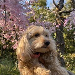 散歩/花見/桜 昨日の散歩🐶 近所の公園に行ってみたら桜…