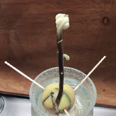 キッチン/アボカド/グリーン アボカドの芽が… 白い…^^