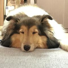 寝顔どアップw/おやすみ🌙/ペット/おやすみショット 気持ち良さそうに 寝てるジャッキー😊 寝…