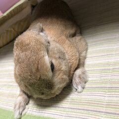 ペット/うさぎ/meru/ネザーランドドワーフ/うさぎ同好会/フォロー大歓迎/... 耳を寝かせると兎に見えないかも…
