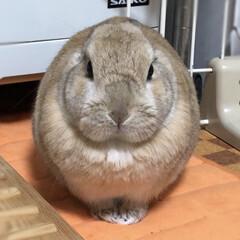 meru/うさぎ/ペット/うさぎ同好会 丸いけど、紛れもなくウサギです!