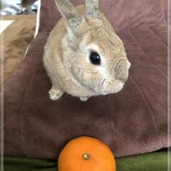 オレンジデー/せとか/うさぎ同好会/meru/うさぎ/ペット/... 🍊4月14日はオレンジデー🍊