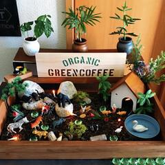 パネル/サファリ/コーヒーの木 コーヒーの木を買ってきたので植え替えてパ…
