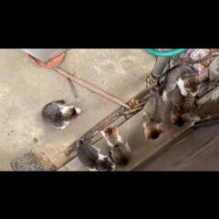 赤ちゃん/ネコ/わたしのGW ちょっと前に近所のアイドルノラ猫のシロが…(2枚目)