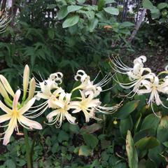 お庭 今年も白の彼岸花が咲きました💕(2枚目)