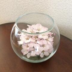 ボトルフラワー/生花保存/桜/ソメイヨシノ/半永久 「ボールボトル」 桜のボトルフラワーは毎…
