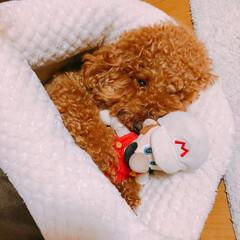 ペット/犬/わんこ同好会/うちの子ベストショット/ペットと暮らす/トイプードル/... トイプードルのクゥちゃん♡ 子供のお気に…