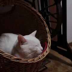 オッドアイ/白猫/猫/玄関 ⌘ウランの寝床 可愛い寝顔!