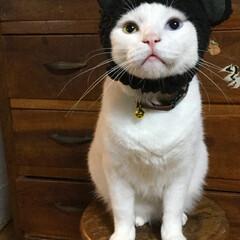 ロングチワワ/オッドアイ/白猫/ペット/ウラン ⌘ベストショット クマ耳猫 アトインシュ…