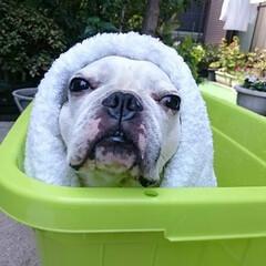 フレンチブルドッグ/シャンプー/お風呂/行水/ペット/犬/... 夏場は外でシャンプーをします。 露天風呂…
