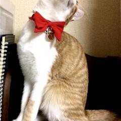 猫/首輪 newリボンでご機嫌です('ω')