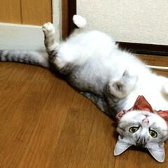 ごろごろ/フローリング/猫/ペット 暑い日はフローリングにごろごろで決まりで…
