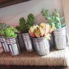 インテリア/多肉植物/グリーンのある暮らし/リサイクル/植物 昔の日本酒のフタを使って多肉植物。1種類…