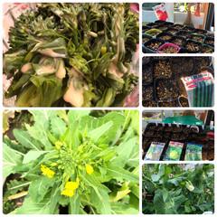 おてがるブロッコリー 緑嶺 約110粒 野菜種子 小袋 サカタのタネ(葉菜)を使ったクチコミ「うちの菜園にも春がやってきました。 共同…」
