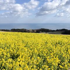 幸せの黄色/菜の花畑/あわじしま花さじき/淡路島/花畑/LIMIAおでかけ部/... 本日のToday's photoに春を先…