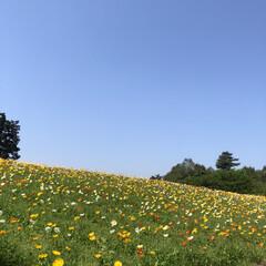 ポピー/青い空/自然の中/お花畑/花が好き/GW/... 鳥取花回廊にお邪魔してます♪ 今日は40…