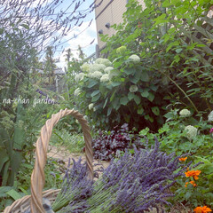 梅雨時のお庭/ラベンダー/ハーブのある暮らし/香りのある暮らし/季節を感じる暮らし/レンガの小道diy/... 雨予報にラベンダーの摘み取りをしました。…