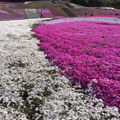 芝桜/ピンクの花/春の香り/花が好き/お花畑/お花のカーペット/... 志摩市観光農園に行ってきました。 7種類…