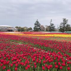 癒される/花が好き/なばなの里/チューリップ畑/春のフォト投稿キャンペーン/おでかけ/... 一面のチューリップ畑🌷 なばなの里です♪