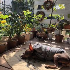 ミニチュアピンシャー/愛犬/犬のいる暮らし/DIY/パーゴラdiy/鉢植え/... 今日はポカポカ日和🌞 ウッドデッキで日向…