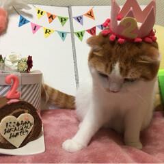 可愛い猫/2歳/お誕生日/スコテッシュフォールド/ペット にこるhappy birthday 🎂 …