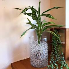 ドラセナ/植物のある暮らし/雑貨/100均/ダイソー/インテリア/... ダイソーで元気そうな「ドラセナ」を見つけ…