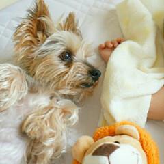お昼寝/犬と子供/ヨーキー/ヨークシャーテリア/犬/ペット