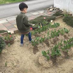 年中さん/息子/水やり/花壇/花/チューリップ 今日は息子の幼稚園がお休みだったので息子…