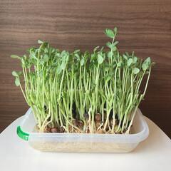 観察日記/栽培/豆苗/節約 豆苗育ててます◡̈ この前初めて豆苗を買…