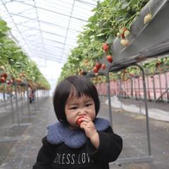 1歳2ヶ月/娘/いちご/いちご狩り/おでかけ/おでかけワンショット イチゴ狩りに行った時の写真🍓 大きなイチ…