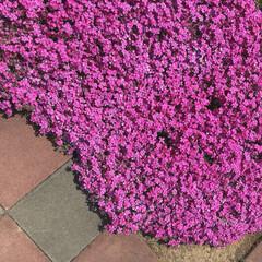 花/芝桜/庭/ガーデニング お庭の芝桜が綺麗に咲きました♡ 全然お手…