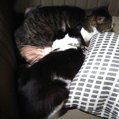 ペット仲間募集/猫/にゃんこ同好会 あずき姉さんに甘えるまめ あずきはもう眠…