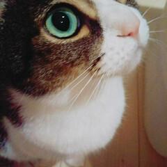 おねだり/ごはん/きじとら白/猫/うちの子ベストショット かわいいっしょ? 早く あたいに ごはん…