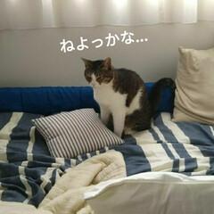 眠い/きじとら白/にゃんこ同好会/おやすみショット 息子(中1)大好きな あずき  部屋のぞ…