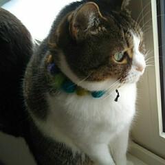 窓辺/はちわれ猫/きじとら白/猫/にゃんこ同好会 珍しく2にゃんこが 窓にいる! そのまま…(2枚目)