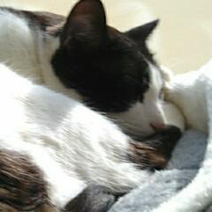 気まま放送/仲良し/きじとら白/はちわれ猫/フォロー大歓迎/猫/... ひと暴れ終了  まめ ちゃんと入ってる …(2枚目)