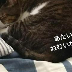 眠い/きじとら白/にゃんこ同好会/おやすみショット 息子(中1)大好きな あずき  部屋のぞ…(2枚目)