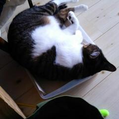 猫のいる暮らし/お昼寝/キジトラ白 あずきの昼寝            は …(2枚目)