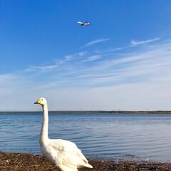 飛行機/ウトナイ湖/白鳥/苫小牧/風景/旅 苫小牧の湖にいる白鳥と飛行機。